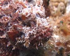 Spotted scorpionfish, Scorpaena plumieri, UP2681 Stock Footage