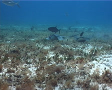 Southern stingray feeding on seagrass meadow, Dasyatis americana, UP2693 Stock Footage