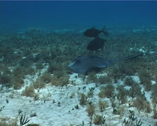 Southern stingray feeding on seagrass meadow, Dasyatis americana, UP2694 Stock Footage