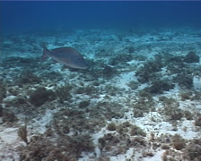 Mutton snapper swimming on shallow coral reef, Lutjanus analis, UP2719 - stock footage