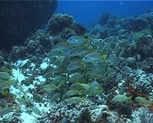 Blackfin snapper schooling, Lutjanus buccanella, UP2726 Stock Footage