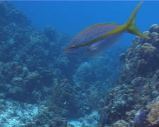 Yellowtail snapper swimming, Ocyurus chrysurus, UP2731 Stock Footage