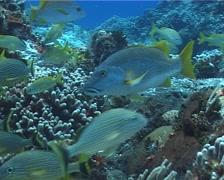 Blackfin snapper swimming, Lutjanus buccanella, UP2727 Stock Footage