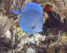 Blue Tang swimming, Acanthurus coeruleus, UP2772 Stock Footage