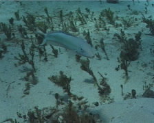 Sand Tilefish hovering, Malacanthus plumieri, UP2792 Stock Footage