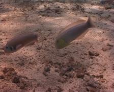 Straighttail razorfish swimming, Xyrichtys martinicensis, UP2855 Stock Footage
