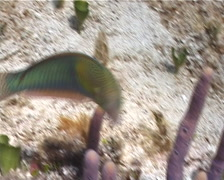 Yellowhead wrasse feeding, Halichoeres garnoti, UP2866 - stock footage