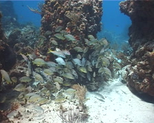 Bluestriped grunt schooling on shallow coral reef, Haemulon sciurus, UP2896 Stock Footage