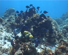 Blue Tang feeding on shallow coral reef, Acanthurus coeruleus, UP2888 Stock Footage