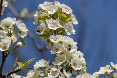 Pollination of flowers by bees pears Stock Photos