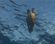 Hawksbill turtle swimming in bluewater, Eretmochelys imbricata, UP2903 Stock Footage
