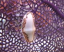 Flamingo Tongue Snail, Cyphoma gibbosum, UP2913 Stock Footage
