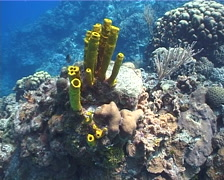 Yellow tube sponge on shallow coral reef, Aplysina fistularis, UP2974 Stock Footage