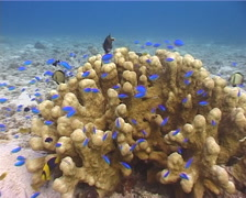 Unidentified robust branching coral on rubble, Psammocora sp. Video 3035. - stock footage