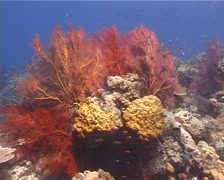 Red sea fan on shallow coral reef, Melithaea sp. Video 3043. Stock Footage