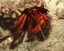Giant orange hermit crab walking at night, Dardanus megistos, UP3125 Stock Footage