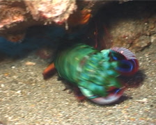 Peacock smasher mantis shrimp walking, Odontodactylus scyllarus, UP3166 Stock Footage
