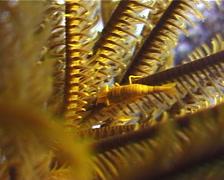 Variable crinoid shrimp walking, Periclimenes amboinensis, UP3202 Stock Footage