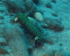 Peacock smasher mantis shrimp running, Odontodactylus scyllarus, UP3168 Stock Footage