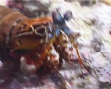 Peacock smasher mantis shrimp smashing, Odontodactylus scyllarus, UP3163 Stock Footage