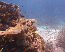 Slender cardinalfish and schooling on shallow coral reef, Rhabdamia gracilis, Stock Footage