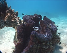 Giant clam feeding on sand and reef, Tridacna gigas, UP3354 Stock Footage