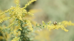 Buzzing Bee - stock footage