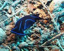 Black and blue swallowtail slug walking, Chelidonura varians, UP3534 Stock Footage
