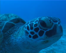 Green turtle swimming, Chelonia mydas, UP3562 Stock Footage