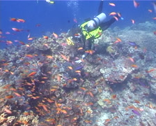 Buddy team of scuba divers swimming on shallow coral reef with Hawksbill turtle Stock Footage
