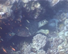 Hawksbill turtle ascending on shallow coral reef, Eretmochelys imbricata, UP3576 Stock Footage