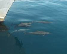 Spinner dolphins jumping on water surface, Stenella longirostris, UP3722 Stock Footage