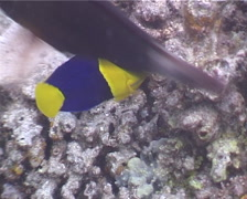 Bicolor angelfish feeding, Centropyge bicolor, UP3789 Stock Footage