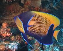 Blue-girdled angelfish swimming, Pomacanthus navarchus, UP3809 Stock Footage