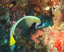 Emperor angelfish swimming, Pomacanthus imperator, UP3820 Stock Footage