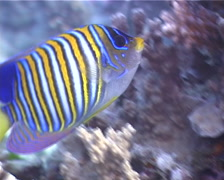 Regal angelfish feeding, Pygoplites diacanthus, UP3842 Stock Footage