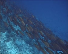 Crescent-tail bigeye swimming and schooling on deep coral reef, Priacanthus Stock Footage
