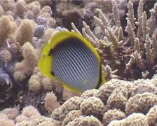 Blackbar butterflyfish feeding, Chaetodon melannotus, UP3944 Stock Footage