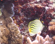 Dot-and-dash butterflyfish feeding, Chaetodon pelewensis, UP3980 Stock Footage