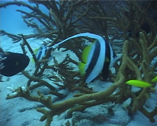 Longfin bannerfish hovering, Heniochus acuminatus, UP4003 Stock Footage