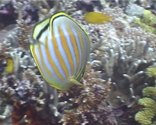 Ornate butterflyfish swimming, Chaetodon ornatissimus, UP4031 Stock Footage