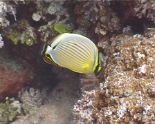 Redfin butterflyfish feeding, Chaetodon lunulatus, UP4076 Stock Footage