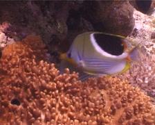 Saddled butterflyfish feeding, Chaetodon ephippium, UP4083 Stock Footage