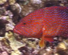 Coral cod swimming, Cephalopholis miniata, UP4176 Stock Footage