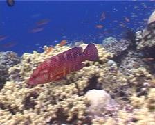 Coral cod swimming, Cephalopholis miniata, UP4178 Stock Footage