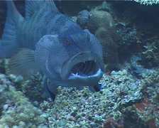 Cleaner wrasse cleaning and being cleaned, Labroides dimidiatus, UP4194 Stock Footage