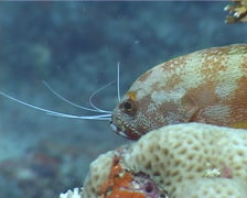Flagtail grouper swimming on shallow coral reef, Cephalopholis urodeta, UP4198 Stock Footage