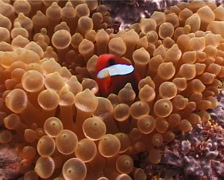 Red-and-Black anemonefish swimming, Amphiprion melanopus, UP4269 Stock Footage