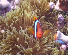 Red-and-Black anemonefish swimming, Amphiprion melanopus, UP4282 Stock Footage