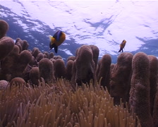 Orangefin anemonefish swimming on shallow coral reef, Amphiprion chrysopterus, Stock Footage